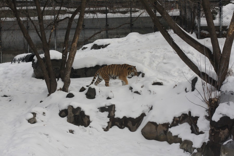 Iola's favorite animal to watch at the Como Zoo. The tiger paced the snowy cage.